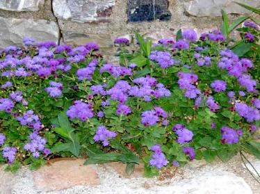 Come In Various Shades Of Purple To Blue White Blooms All Summer Great Bedding Plant Or Flower Pots Full Sun Deer Proof