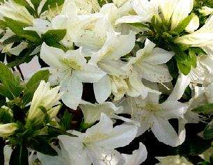 Page title large 2 single to semi double white flowers bloom in late may this strong spreading grower has large medium green leaves and will grow to 4 in 10 mightylinksfo Choice Image