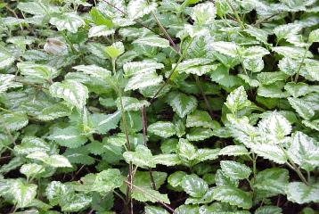 Page title lamium maculatum spotted dead nettle an all time favorite fast growing perennial to be used as a ground cover lamium prefers a semi shady dry area with mightylinksfo