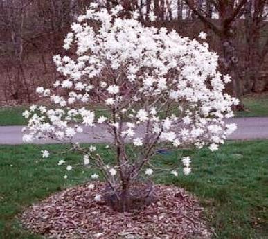 Magnolia stelatta star magnolia