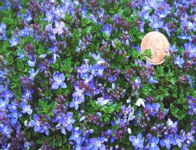 Creeping Sdwell Brilliant Gold Leaves Make An Attractive Spreading Groundcover Pearl Blue Flowers Works Well Between Pavers Or In A Woodland Setting